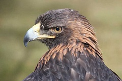 Photo Credit: HOLLY M. GILL - Aquila, a blind golden eagle, will return to Eagle Watch this year.