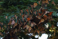 PHOTO BY CARLY VOIGHT, COURTESY OF XERXES SOCIETY  - The iconic monarch butterfly species in North America could go extinct, according to a new study.