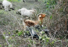 GARY ALLEN - Nibbling away - Ivy, poison oak, blackberries and other invasive species are no match for 40 goats that took over an acre of Chehalem Glenn golf course last week.