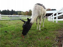 SUBMITTED PHOTO - Laurel grazes at the farm the Clackamas County Soil and Water Conservation District owns at 22055 S. Beavercreek Road.