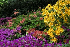 COURTESY PHOTO: LYNN KETCHUM - Azaleas should be pruned lightly after they bloom in spring.