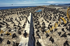 COURTESY OF AUDUBON SOCIETY OF PORTLAND/PHOTO BY JOE LIEBEZEIT - The fate of thousands of cormorants and other birds at East Sand Island is up to the courts. Conservation advocates have filed an injunction to stop the planned killing.