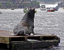 CONTRIBUTED PHOTO: OREGON DEPARTMENT OF FISH AND WILDLIFE - A sea lion rests on a boat dock at Sportcraft Marina in Oregon City while anglers fish for spring chinook.