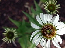 COURTESY PHOTO: LINDA MCMAHAN - Coneflower should be divided every three to five years if it declines in vigor or the center is dying.