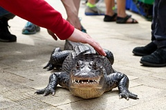 TRIBUNE PHOTO: JONATHAN HOUSE - Ally the Alligator gets attention at Director Park as part of an afternoon exhibition put on by the Oregon State Fair.