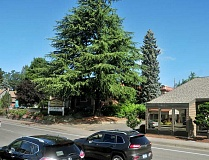 GARY ALLEN - Standing tall - Although its age is uncertain, the deodar cedar tree is estimated to be about 80 years old. Arborists have said it could last longer, but a parking lot remodel and falling branches have led to a plan for its removal.
