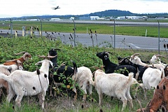 COURTESY PORT OF PORTLAND - Goats munch on blackberries and other invasive vegetation as a plane takes off at Portland International Airport.