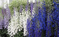 SUBMITTED PHOTO: BOB FRANKLIN - Perennial delphiniums stand tall as fire-resistant plants.