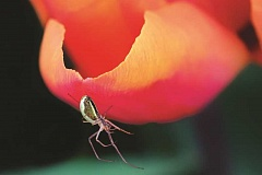 GARY GROSSMAN - 'Tulip Spider' was named the grand prize winner.