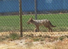 COURTESY PHOTO: CORINN ORLANDO - This coyote was reportedly seen near the soccer fields at Woodburn High School two weeks ago.