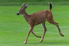 An interested spectator crosses a fairway.