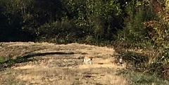 BECKY HEYERLY MATHIS - This animal, reported to be a cougar, was sighted Sunday evening in a wetlands area on Columbia Drive in a Molalla subdivision.