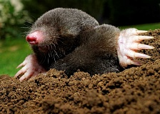 SUBMITTED PHOTO - Nancy Dunis submits this poem about moles, which can be a gardeners bane.