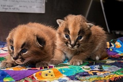 COURTESY OF SHERVIN HESS/THE OREGON ZOO - A pair of 2-week-old caracal kittens get a checkup at the Oregon Zoo.
