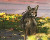 CONTRIBUTED PHOTO: BOB SALLINGER - Coyotes are a staple of urban life, as seen here in the Alameda neighborhood of Portland.