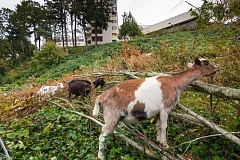 SUBMITTED PHOTOS - Goats clear noxious plants and weeds on Willamette View's 27-acre senior-living campus.