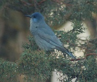 SCOTT STAATS SPECIAL TO THE CENTRAL OREGONIAN - Pinyon jays have an overall dull blue coloration and shorter tails than other jays.