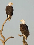 COURTESY OF TRNWR - Coming soon - While there is speculation that the resident bald eagles have been spending time in and around their nest at the Tualatin River National Wildlife Refuge, observers haven't seen the majestic birds yet.