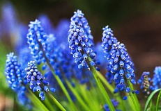 OUTLOOK PHOTO: JOSH KULLA - Grape hyacinths are among the many types of flowers currently blooming in gardens, parks and  along sidewalks in Gresham and east Multnomah County.