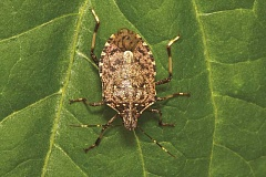 PUBLIC DOMAIN PHOTO: WIKIMEDIA COMMONS - The brown marmorated stink bug is the scourge of farmers and homeowners in the Willamette Valley.
