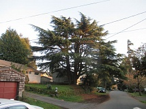 SUBMITTED PHOTO - A local arborist estimates that the deodora cedar on the 7300 block of Southwest 33rd Avenue stands about 80 feet tall.