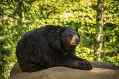 COURTESY: MICHAEL DURHAM/OREGON ZOO - Oregon Zoo's black bears, including Takoda, have been stirring after their winter 'nap' - it's technically not a hibernation.