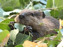 PHOTO COURTESY OF CHERYL REYNOLDS WORTH A DAM - The North American beaver — Castor canadensis — is Oregons official state animal.
