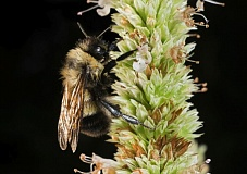 COURTESY XERCES SOCIETY - An elusive rusty patched bumble bee.