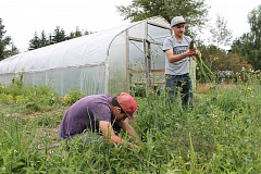 TIDINGS PHOTO: ANDREW KILSTROM - Incoming Wilsonville High School freshmen Kevin Perez, left, and Hamzeh Hourani pick  bunching onions in June.