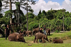 PHOTO COURTESY SABAH WILDLIFE RESCUE UNIT - Rescued elephant calves take an afternoon walk with staff at the Sepilok Wildlife Medical Care Center in Sabah, Malaysia.