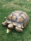 COURTESY PHOTO - This photo of a wayward tortoise was shared on social media accounts by Tualatin police spokeswoman Jennifer Massey, minutes before the lost animal was claimed by its owner.
