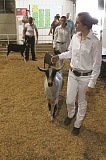SPOKESMAN FILE PHOTO - Fair goers can check out the livestock barns, watch the 4-H and FFA members exhibit animals or watch the auctions at the Clackamas County Fair Aug. 16-21.