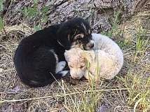 SUBMITTED PHOTO - A pair of stray puppies huddle together for comfort on the Warm Springs Reservation.