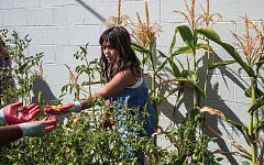 TIMES PHOTO: JONATHAN HOUSE - Kailie Estrada picks tomatoes during a meetup of the PAL Garden Club.