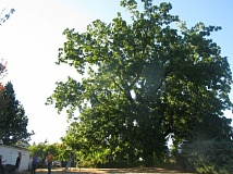 PHOTO BY RAYMOND RENDLEMAN - The Thiessen black walnut in Oak Grove dwarfs the people and houses around it.