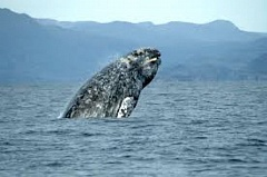 FILE PHOTO - Gray whales are migrating south along the Oregon coast for the next few weeks. This week, volunteers will be stationed along the coast to help visitors spot the whales.