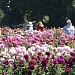 Dahlia Festival resumes this weekend