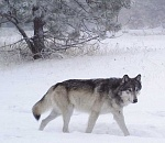 ODFW releases wolf conservation and management report