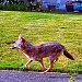 Wild canids: Coyotes roam Inner Southeast