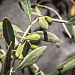 Pressing Forward: Oregon's budding olive industry