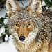 Lake Oswego resident captures winter image of coyote