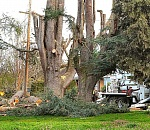 Two huge trees felled, at Holy Family Catholic Church