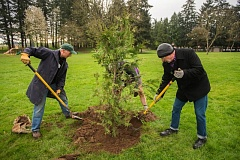 OUTLOOK PHOTO: JOSH KULLA - Jim Buck, a member of the city of Gresham's Urban Forestry Subcommittee, plants a Hogan cedar Wednesday at Vance Park with the help of Ian Bonham of Friends of Trees and Gresham City Councilor David Widmark. The event marked the ninth anniversary of Gresham's Tree City USA designation.