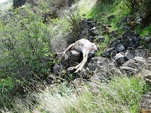 CONTRIBUTED PHOTO: OREGON STATE POLICE - Troopers found two bighorn sheep allegedly poached by Cody Plagmann, of Troutdale, and Justin Samora, of Layton, Utah, April 3, near Biggs Junction.