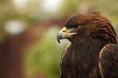 COURTESY PHOTO: MICHAEL DURHAM/OREGON ZOO - Deschutes, the golden eagle, flew away May 3 during training at the Oregon Zoo.