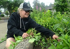 TIDINGS PHOTO: VERN UYETAKE - Inga McDevitt works on weeding the plant bed outside of the Youth Music Project during Saturday's Take Care of West Linn event.