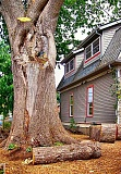 RITA A. LEONARD - One of Sellwoods two Heritage American chestnut trees was cut back considerably in August, due to disease and old lightning damage.