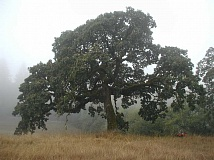 COURTESY PHOTOS - Oaks are some of the slowest-growing native trees in the Willamette Valley.