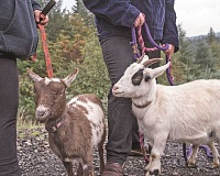 NEWS-TIMES PHOTOS: CHASE ALLGOOD - The people who receive goat visits 'will probably be happy,' said Forest Grove High School senior Natasha Wright, who raises goats as FFA projects.