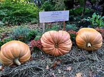SUBMITTED PHOTO - Annie Logue of Lake Oswego correctly guessed the exact wieght of this trio of pumpkins in Brian Williams' front yard: 523 pounds. 'I'm tickled orange,' she says.